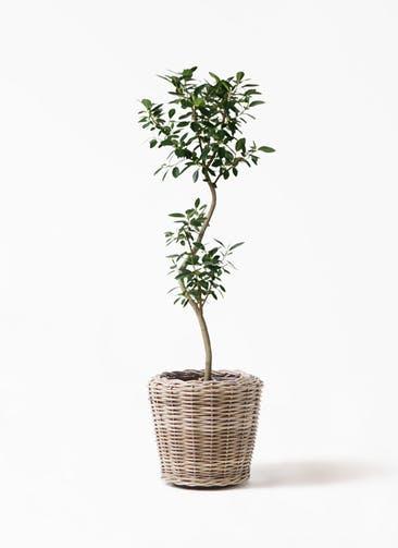 観葉植物 フランスゴムの木 8号 曲り モンデリック ラタン 付き