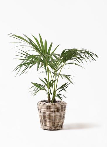 観葉植物 ケンチャヤシ 8号 モンデリック ラタン 付き