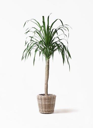 観葉植物 ドラセナ ドラコ 8号 モンデリック ラタン 付き