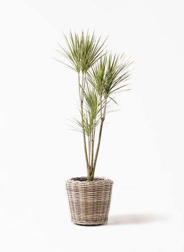 観葉植物 コンシンネ ホワイポリー 8号 ストレート モンデリック ラタン 付き