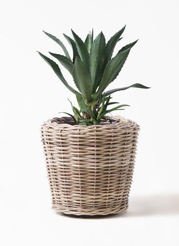 観葉植物 アガベ 8号 アメリカーナ モンデリック ラタン 付き