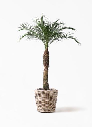 観葉植物 フェニックスロベレニー 8号 モンデリック ラタン 付き