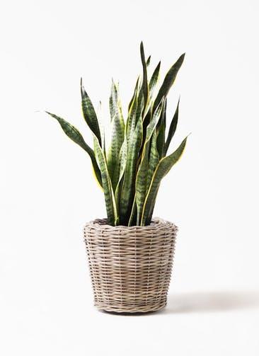 観葉植物 サンスベリア 8号 トラノオ モンデリック ラタン 付き