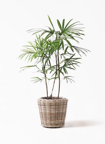 観葉植物 シュロチク(棕櫚竹) 8号 モンデリック ラタン 付き