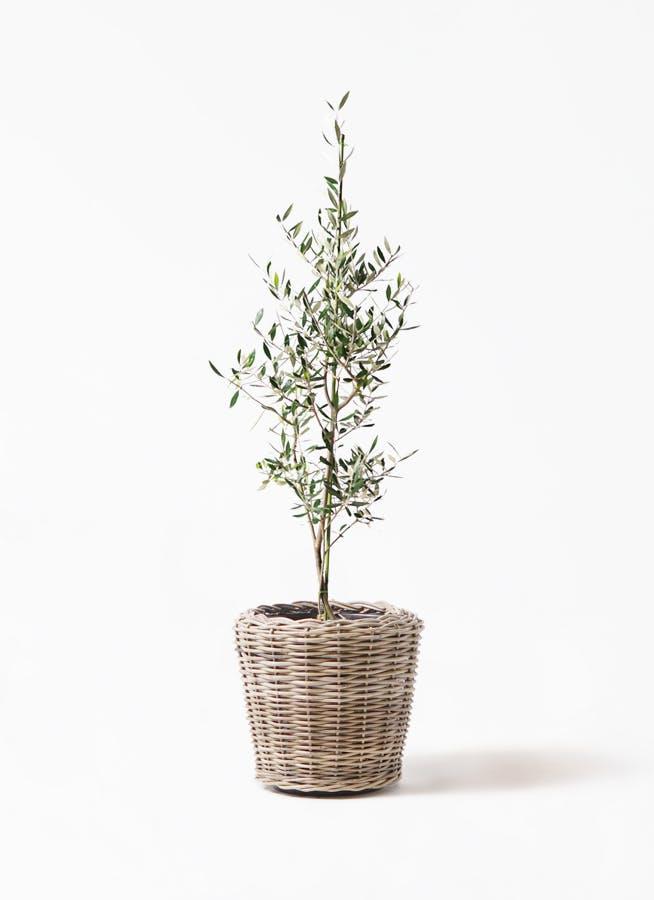 観葉植物 オリーブの木 8号 コロネイキ モンデリック ラタン 付き