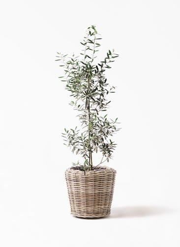 観葉植物 オリーブの木 8号 チプレッシーノ モンデリック ラタン 付き