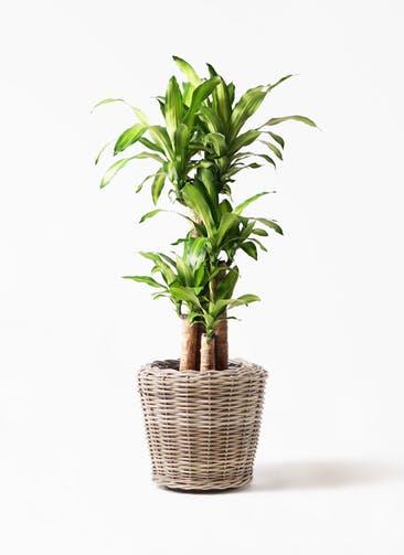 観葉植物 ドラセナ 幸福の木 8号 ノーマル モンデリック ラタン 付き
