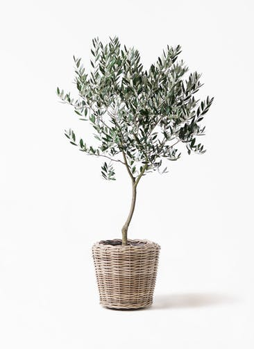 観葉植物 オリーブの木 8号 創樹 モンデリック ラタン 付き