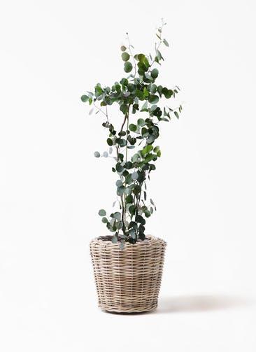観葉植物 ユーカリ 8号 ポリアンセモス モンデリック ラタン 付き