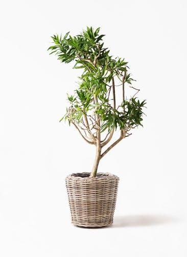 観葉植物 ドラセナ ソング オブ ジャマイカ 8号 モンデリック ラタン 付き