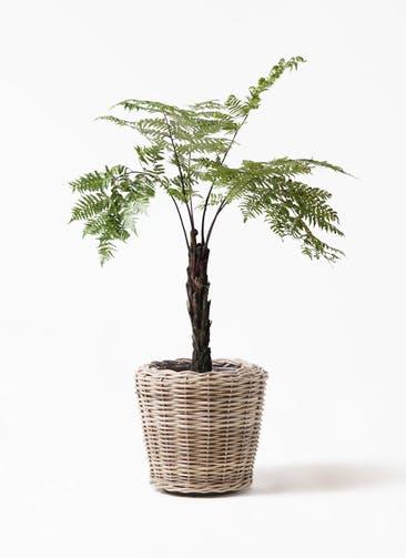 観葉植物 ヘゴ 8号 モンデリック ラタン 付き