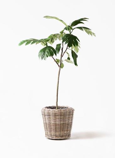観葉植物 パンノキ 8号 モンデリック ラタン 付き