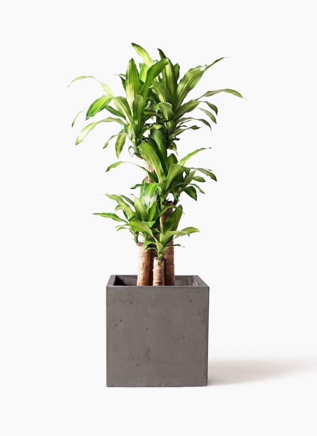 観葉植物 ドラセナ 幸福の木 8号 ノーマル コンカー キューブ 灰 付き