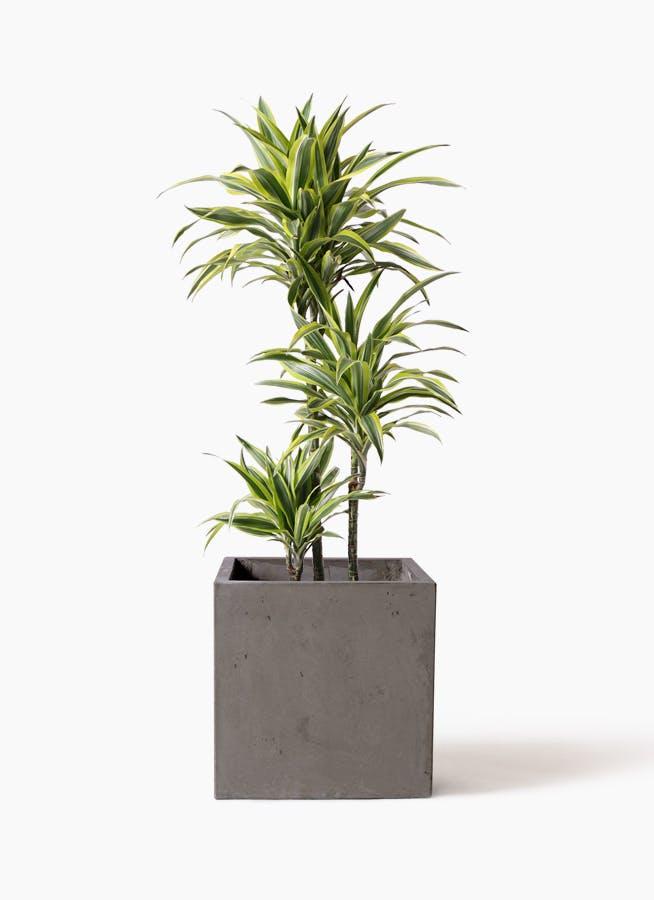 観葉植物 ドラセナ ワーネッキー レモンライム 8号 コンカー キューブ 灰 付き