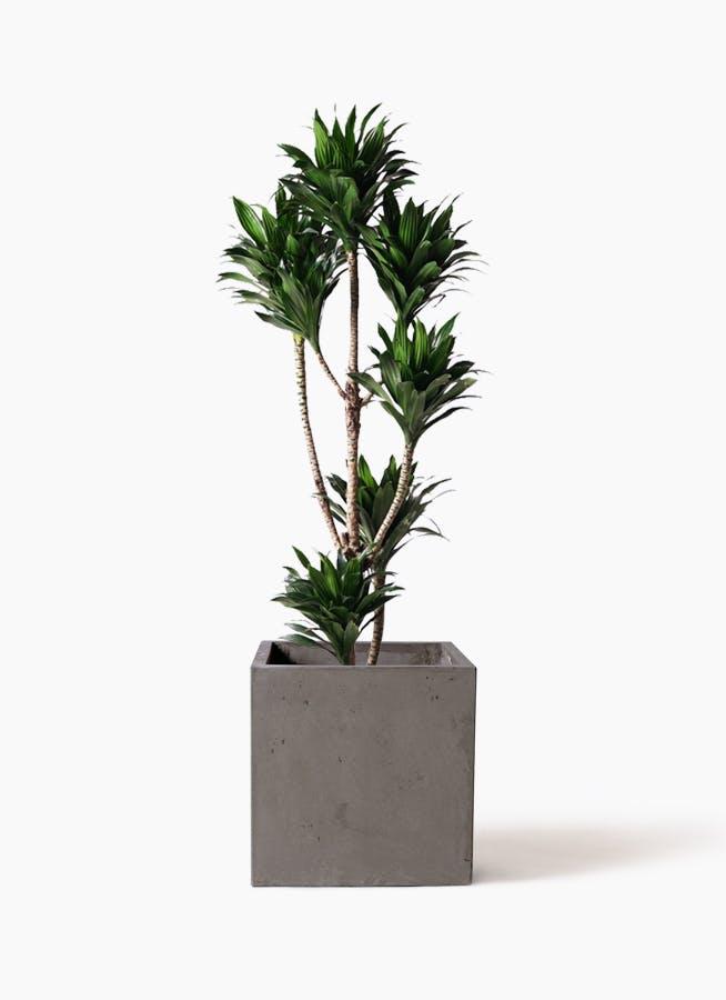 観葉植物 ドラセナ コンパクター 8号 コンカー キューブ 灰 付き