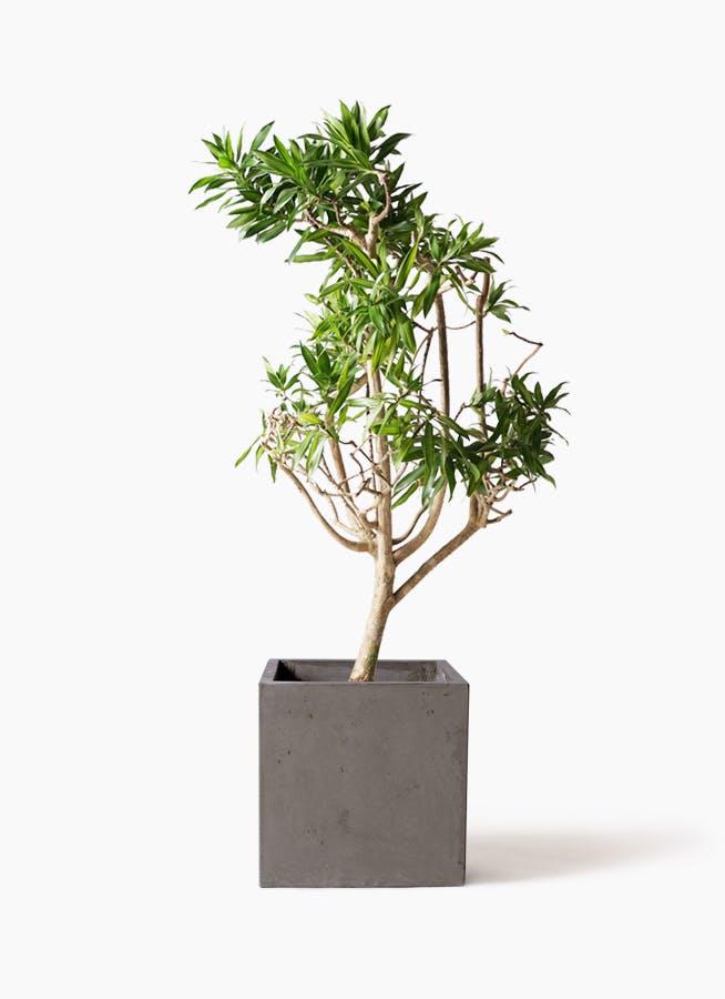 観葉植物 ドラセナ ソング オブ ジャマイカ 8号 コンカー キューブ 灰 付き