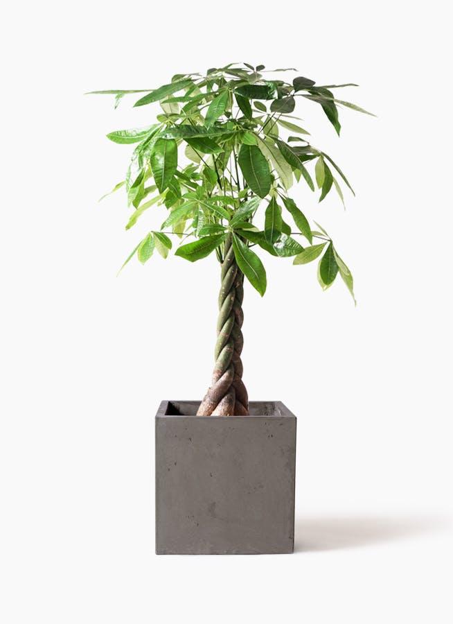 観葉植物 パキラ 8号 ねじり コンカー キューブ 灰 付き
