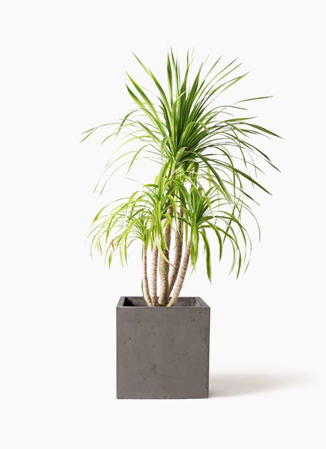 観葉植物 ドラセナ カンボジアーナ 8号 コンカー キューブ 灰 付き