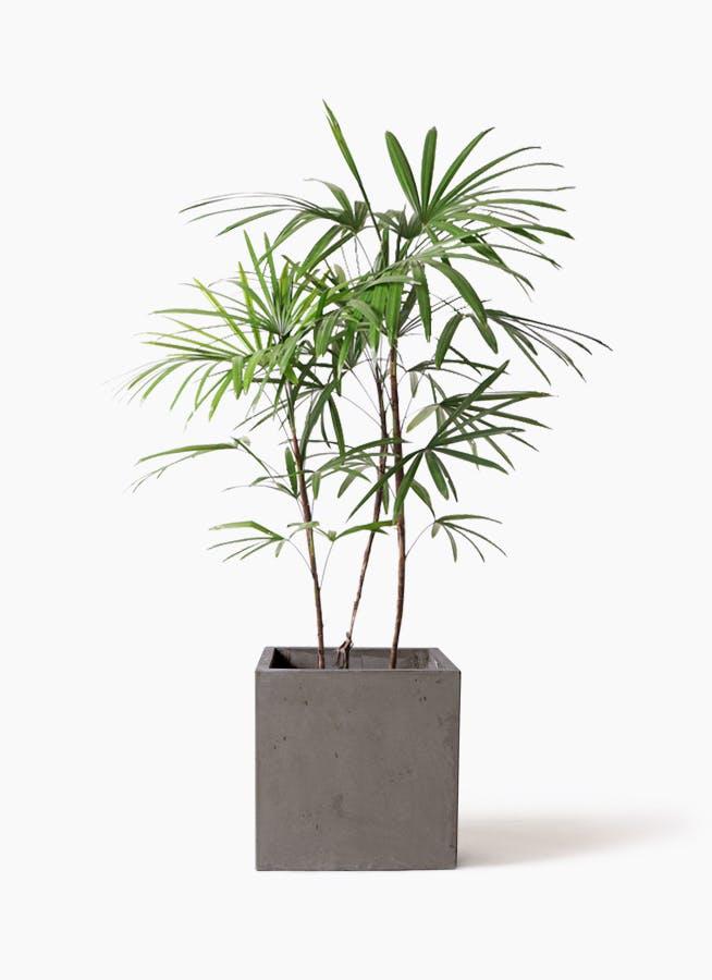 観葉植物 シュロチク(棕櫚竹) 8号 コンカー キューブ 灰 付き