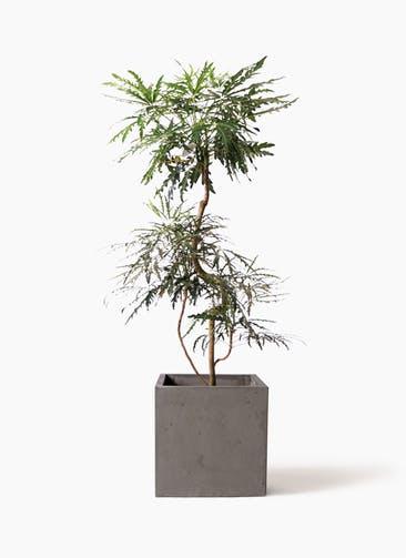 観葉植物 グリーンアラレア 8号 曲り コンカー キューブ 灰 付き