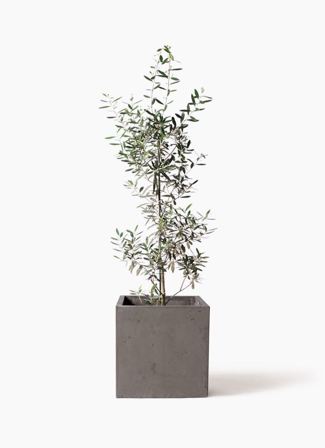 観葉植物 オリーブの木 8号 チプレッシーノ コンカー キューブ 灰 付き