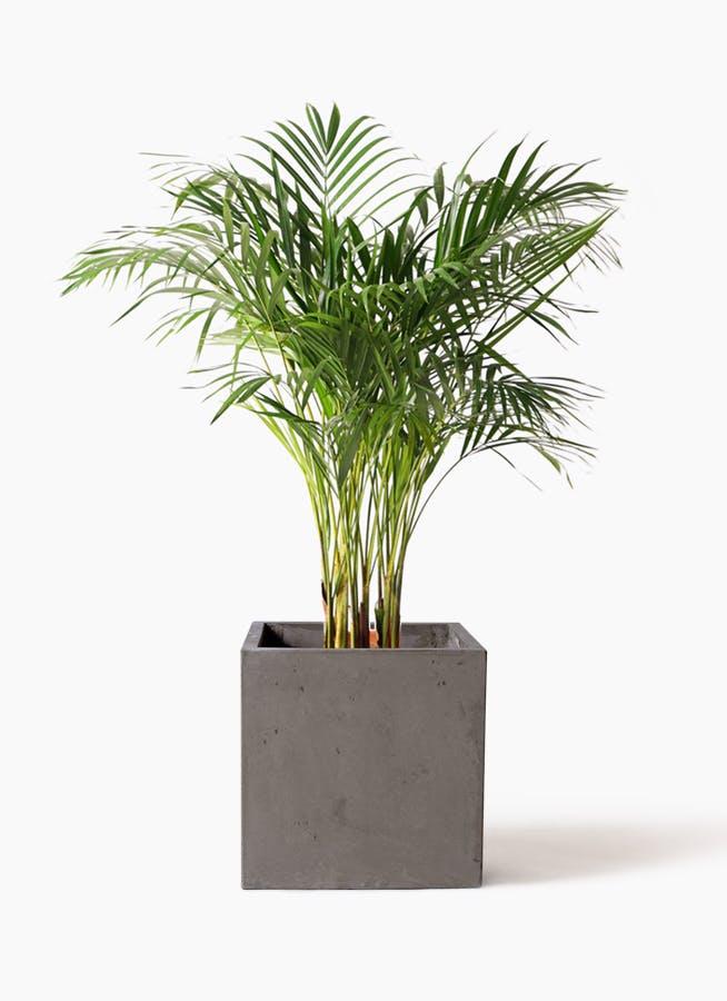 観葉植物 アレカヤシ 8号 コンカー キューブ 灰 付き