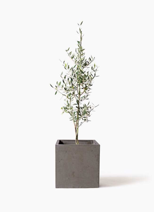 観葉植物 オリーブの木 8号 コロネイキ コンカー キューブ 灰 付き