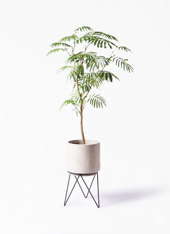 観葉植物 エバーフレッシュ 8号 ボサ造り ビトロ エンデカ クリーム アイアンポットスタンド ブラック 付き