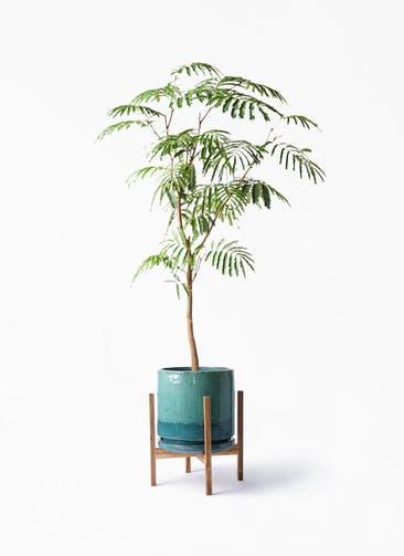 観葉植物 エバーフレッシュ 8号 ボサ造り ビトロ エンデガ ターコイズ ウッドポットスタンド付き