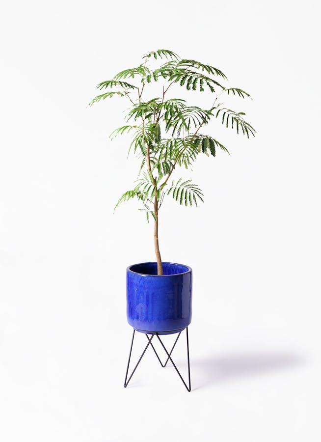 観葉植物 エバーフレッシュ 8号 ボサ造り ビトロ エンデカ ブルー アイアンポットスタンド ブラック 付き