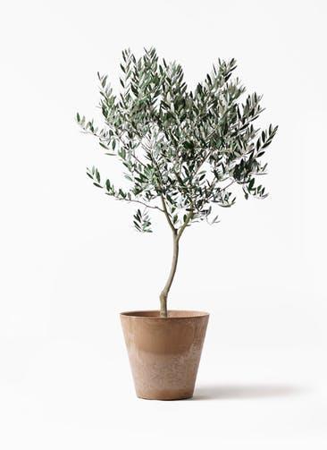 観葉植物 オリーブの木 8号 創樹 アートストーン ラウンド ベージュ 付き