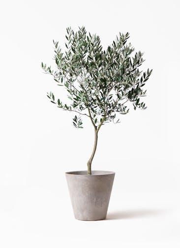 観葉植物 オリーブの木 8号 創樹 アートストーン ラウンド グレー 付き