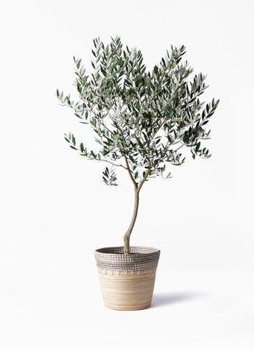 観葉植物 オリーブの木 8号 創樹 アルマ コニック 白 付き