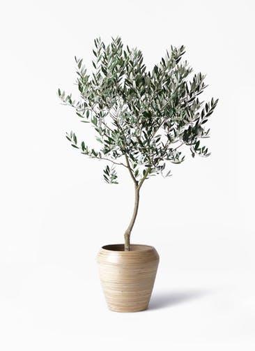 観葉植物 オリーブの木 8号 創樹 アルマ ミドル 付き