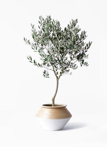 観葉植物 オリーブの木 8号 創樹 アルマジャー 白 付き