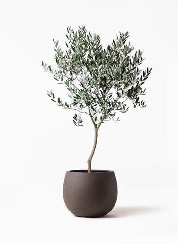 観葉植物 オリーブの木 8号 創樹 テラニアス ローバルーン アンティークブラウン 付き