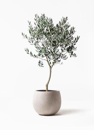 観葉植物 オリーブの木 8号 創樹 テラニアス ローバルーン アンティークホワイト 付き