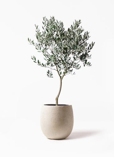 観葉植物 オリーブの木 8号 創樹 テラニアス バルーン アンティークホワイト 付き