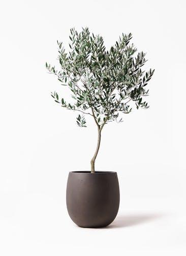 観葉植物 オリーブの木 8号 創樹 テラニアス バルーン アンティークブラウン 付き