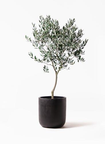 観葉植物 オリーブの木 8号 創樹 エルバ 黒 付き