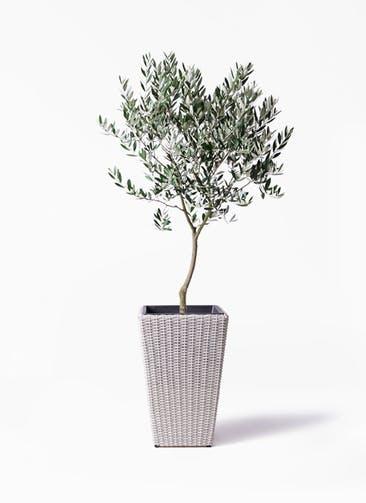 観葉植物 オリーブの木 8号 創樹 ウィッカーポット スクエアロング OT 白 付き