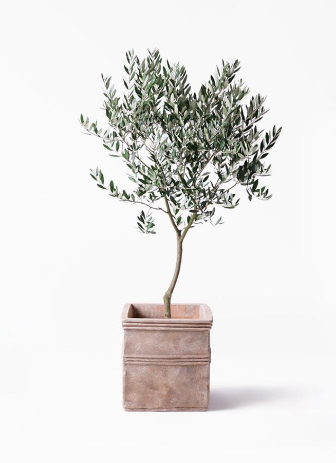 観葉植物 オリーブの木 8号 創樹 テラアストラ カペラキュビ 赤茶色 付き
