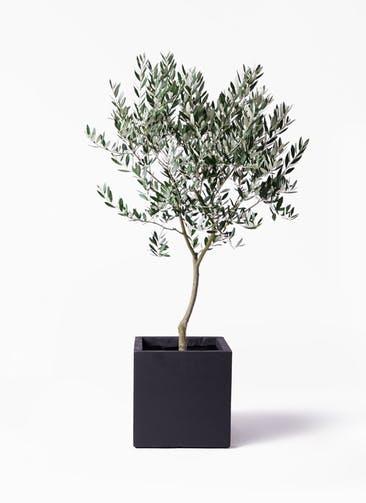 観葉植物 オリーブの木 8号 創樹 ベータ キューブプランター 黒 付き
