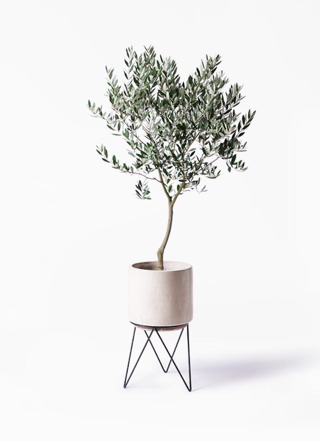 観葉植物 オリーブの木 8号 創樹 ビトロ エンデカ クリーム アイアンポットスタンド ブラック 付き