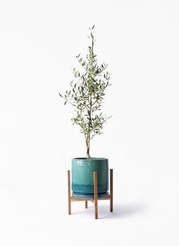 観葉植物 オリーブの木 8号 コロネイキ ビトロ エンデガ ターコイズ ウッドポットスタンド付き