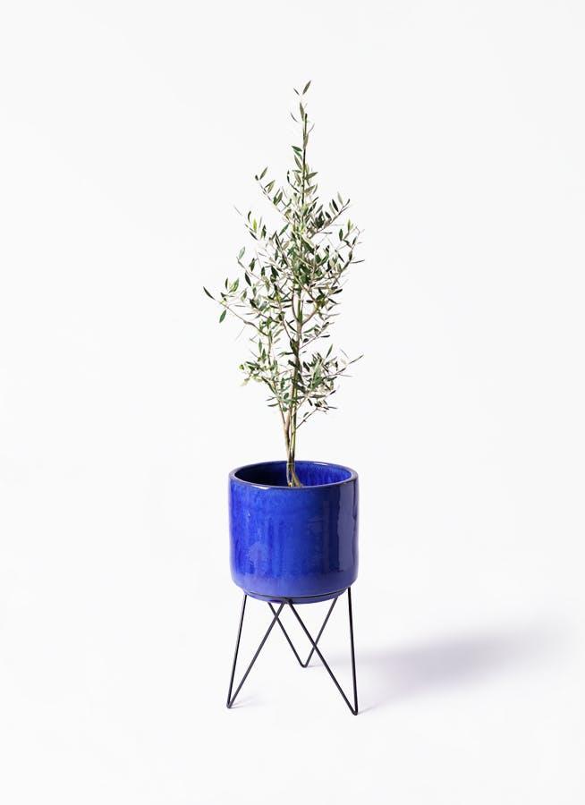 観葉植物 オリーブの木 8号 コロネイキ ビトロ エンデカ ブルー アイアンポットスタンド ブラック 付き