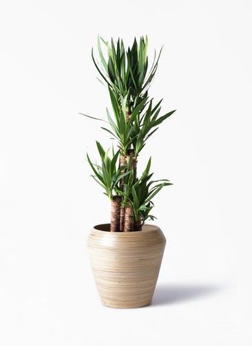 観葉植物 ユッカ 8号 ノーマル アルマ ミドル 付き