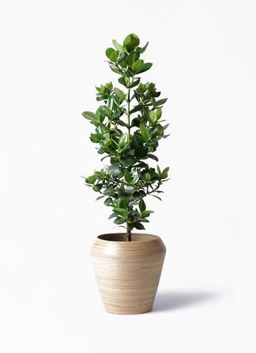 観葉植物 クルシア ロゼア プリンセス 8号 アルマ ミドル 付き