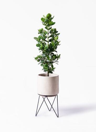 観葉植物 クルシア ロゼア プリンセス 8号 ビトロ エンデカ クリーム アイアンポットスタンド ブラック 付き