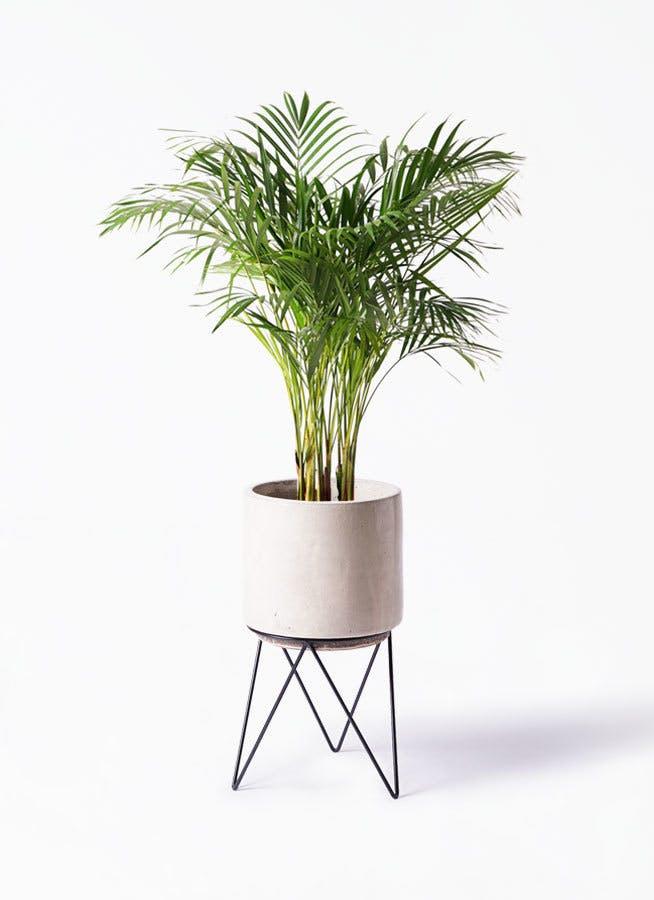 観葉植物 アレカヤシ 8号 ビトロ エンデカ クリーム アイアンポットスタンド ブラック 付き